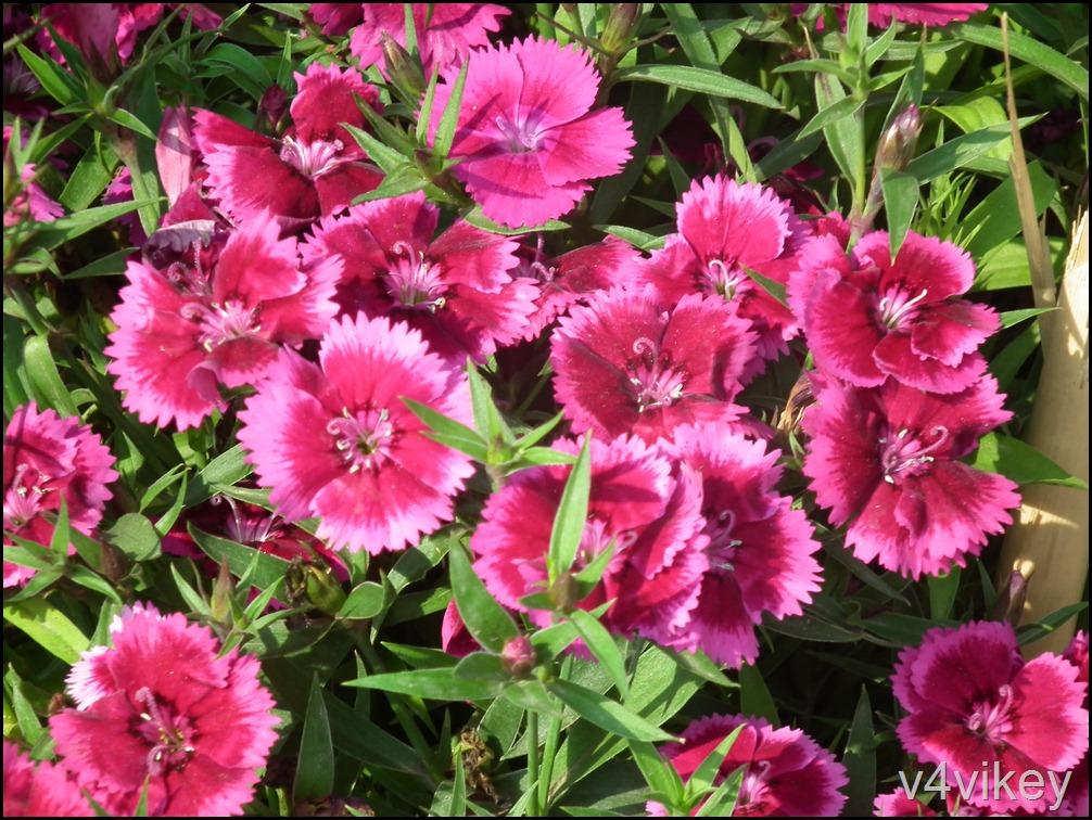 Dianthus Flower Red Pink Color