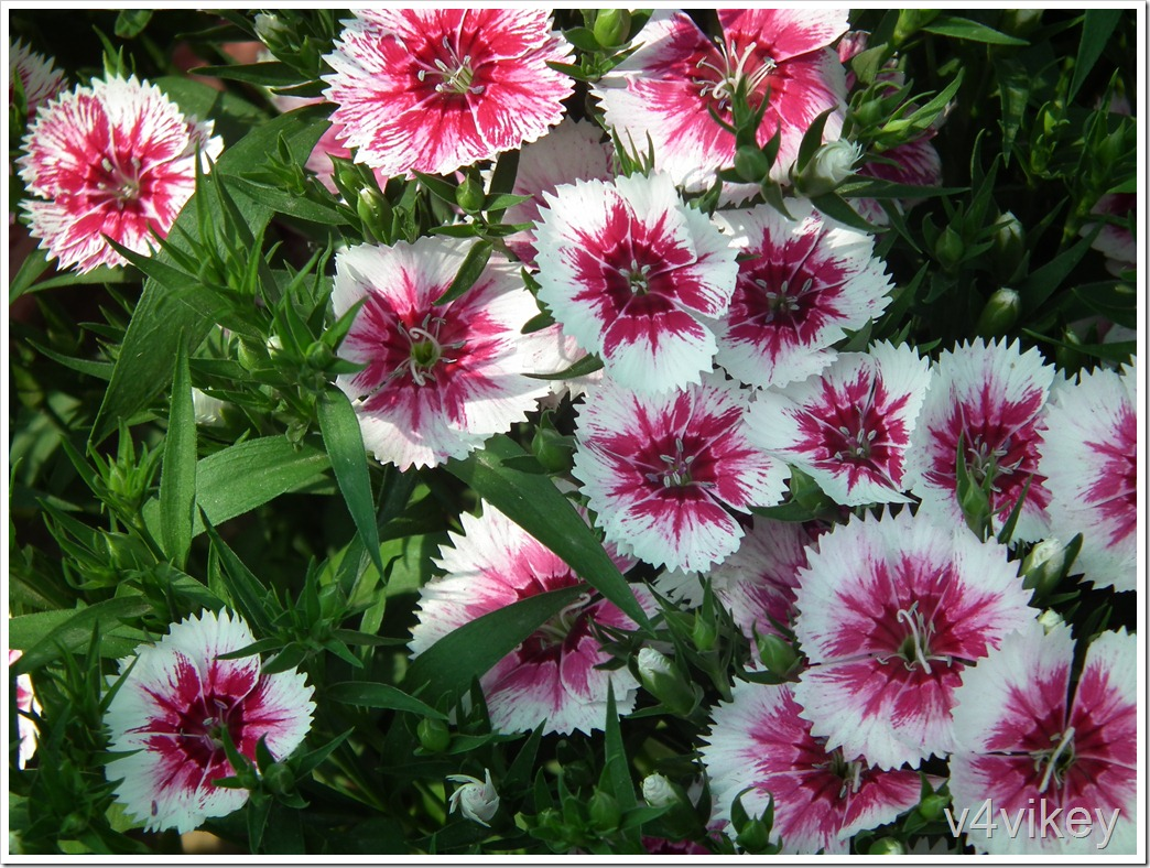Pink White Color Dianthus Flower
