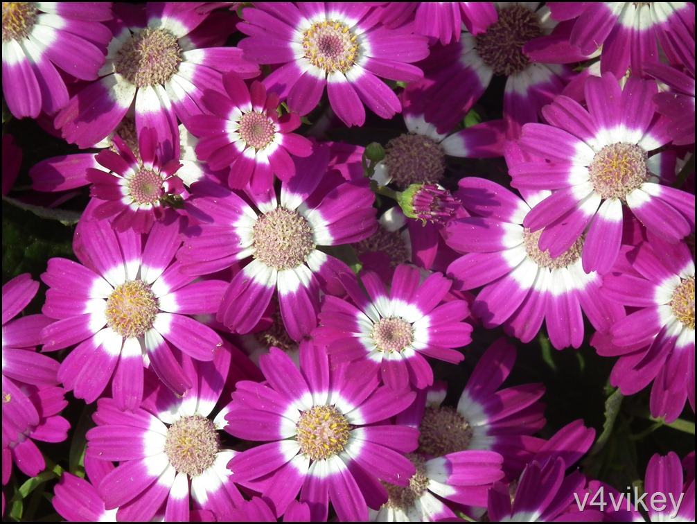 Pink White Color Dianthus Flower