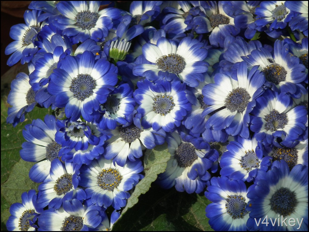 Blue  Color Dianthus Flower