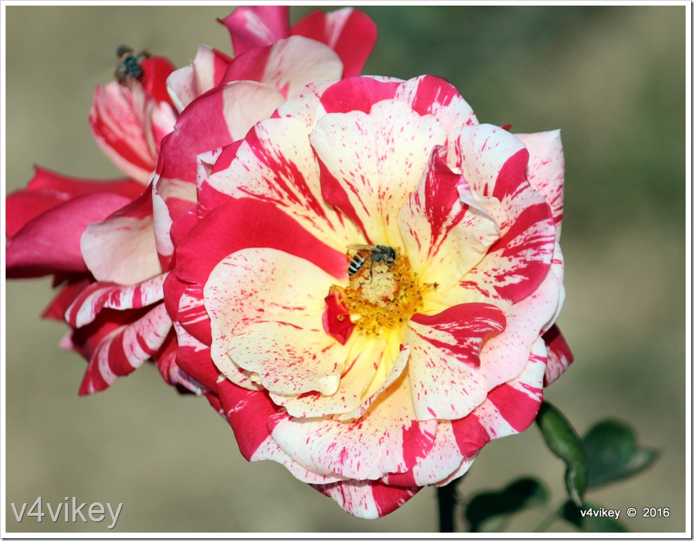 Double shade rose flower
