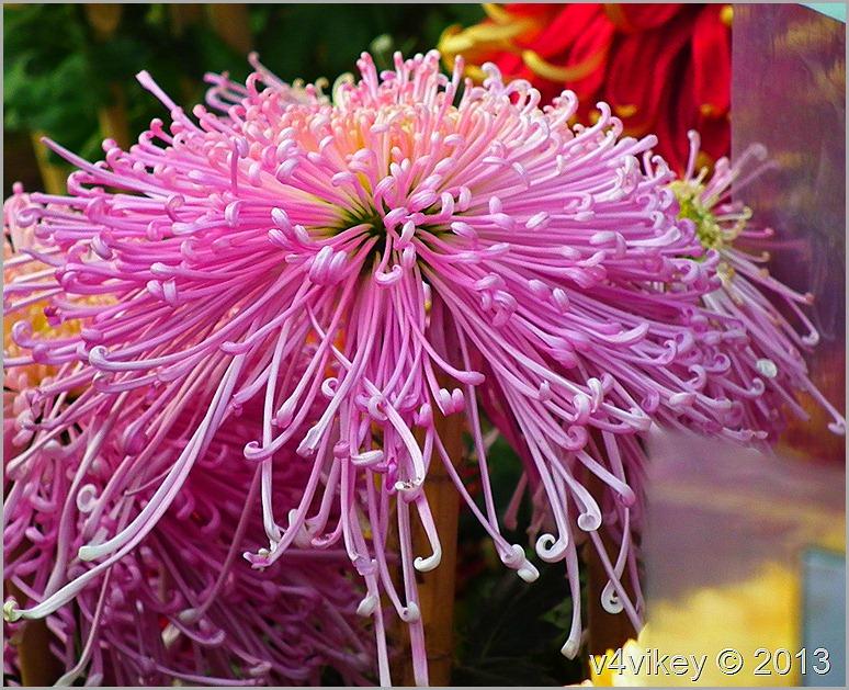 Chrysanthemum morifolium,
