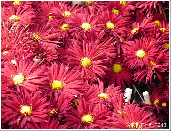 Chrysanthemum Red Color Flowers