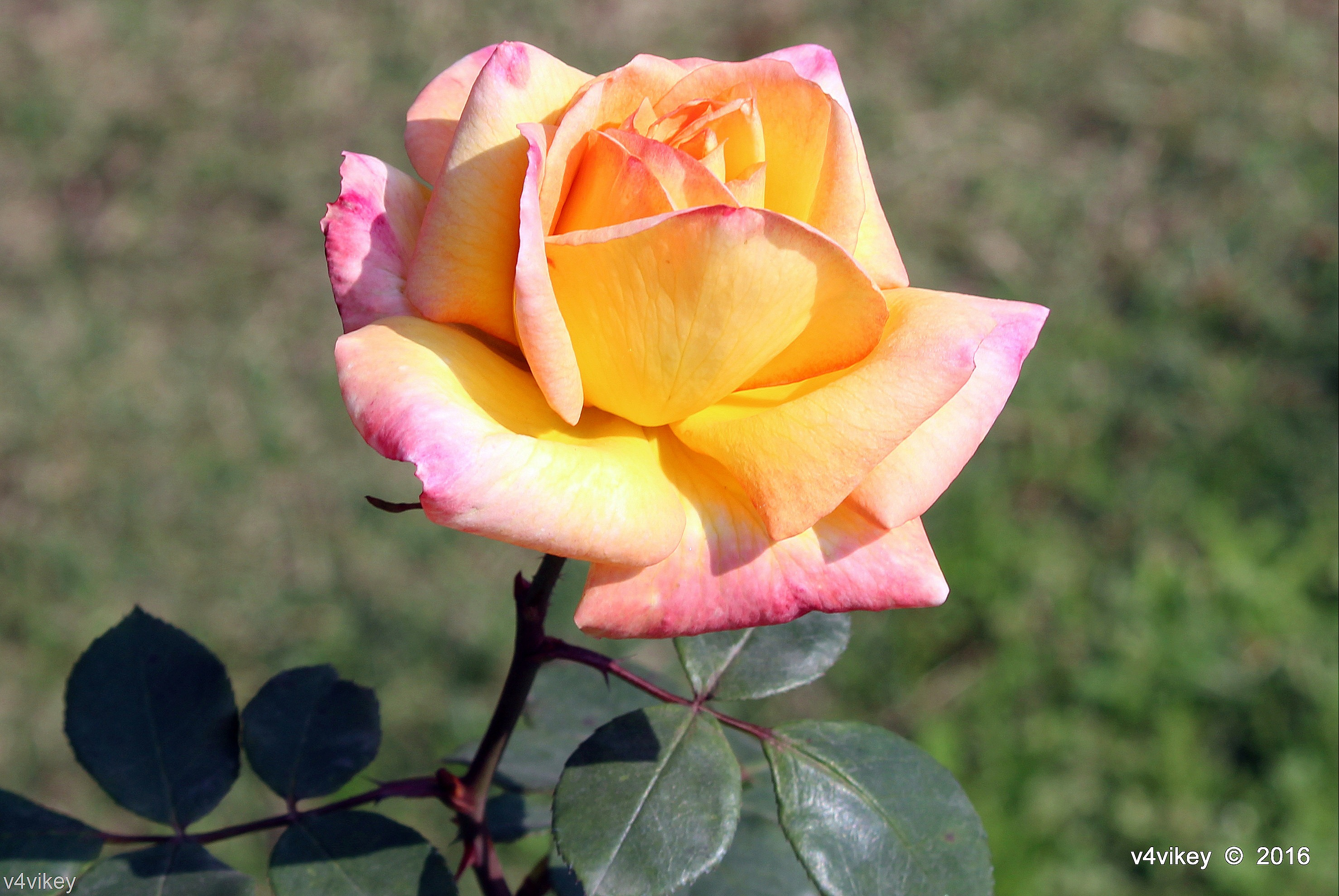 Double Shaded Pink Yellow Rose Flower Wallpaper Tadka