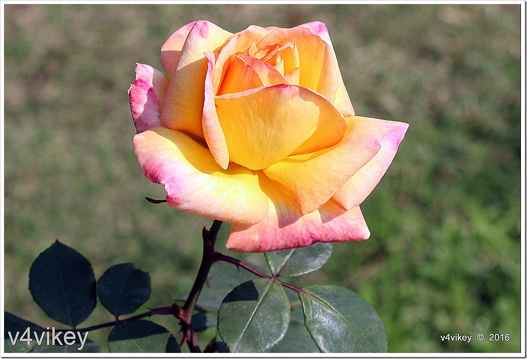 Dual Shaded Yellow Pink Rose