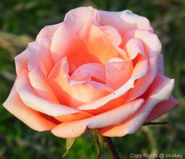 Floribunda Rose Flower