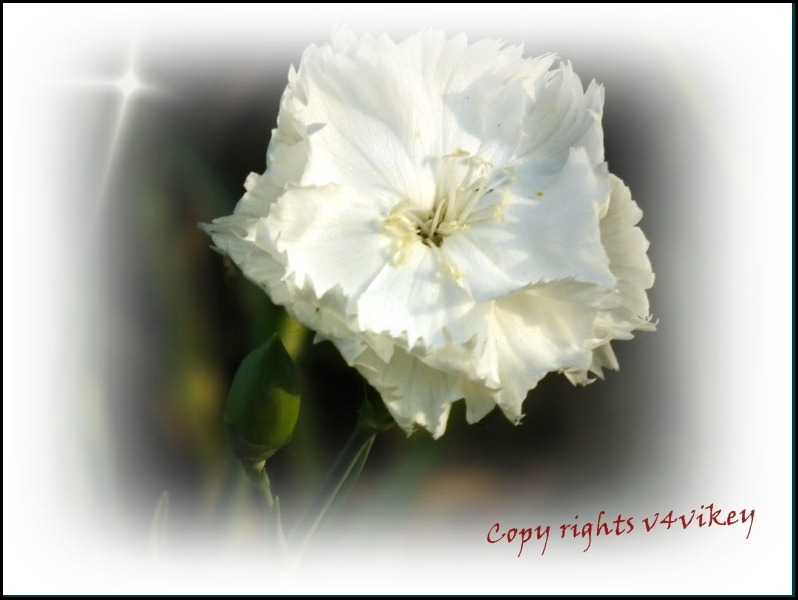 Carnation White Color Flower