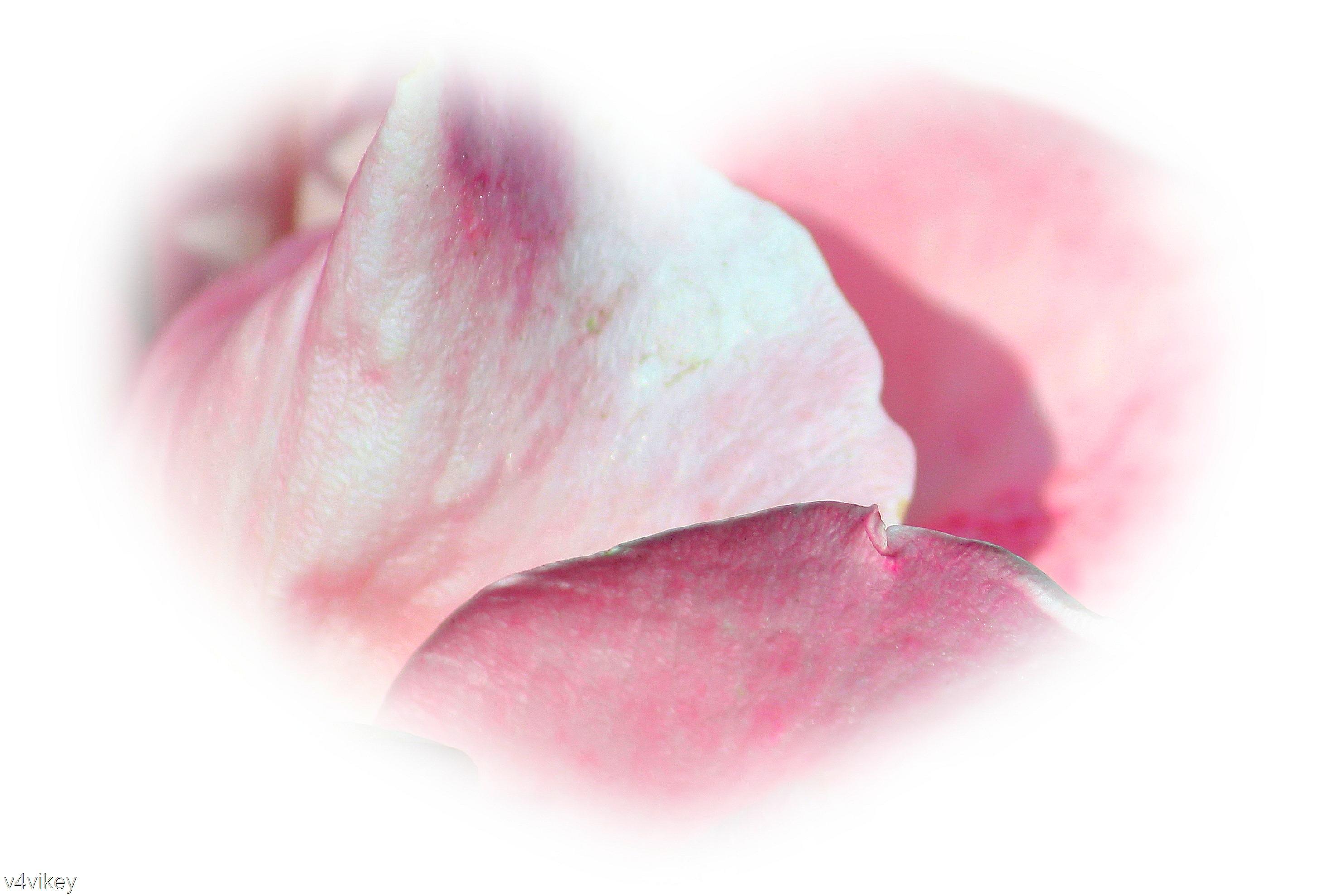 Rose Heart Wallpaper Tadka