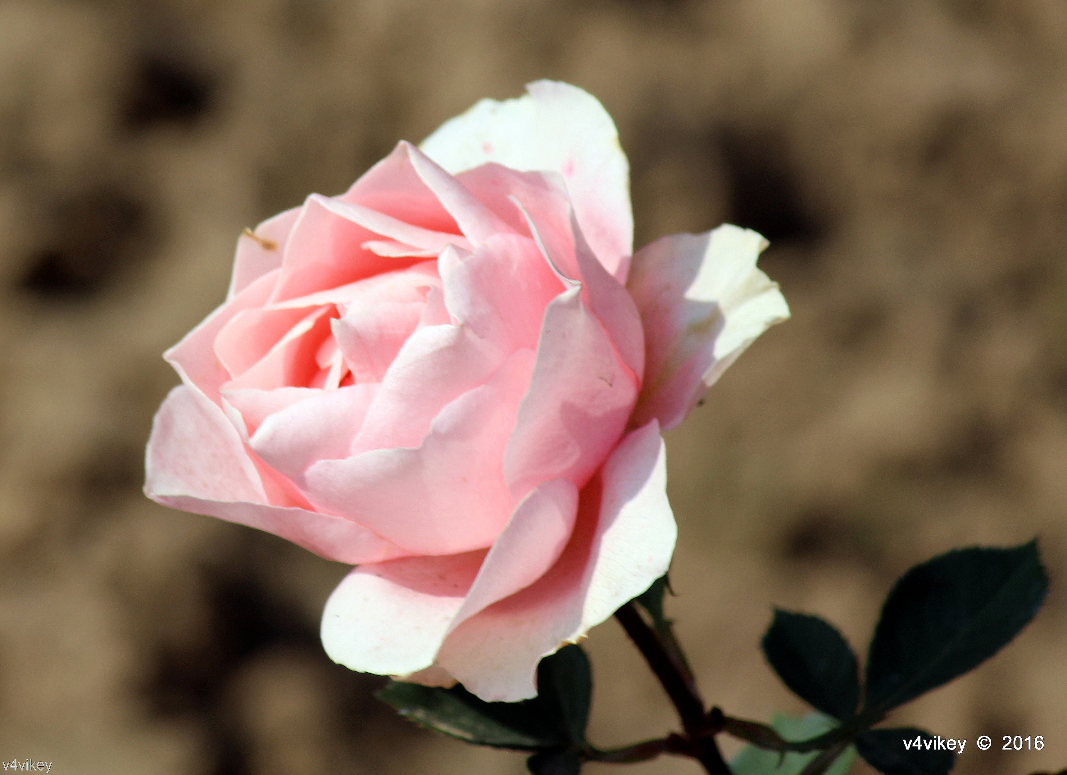 Types Of Rose Flower By Color Light Pink Color Roses Wallpaper Tadka