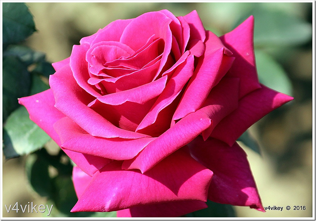 Magenta Color Rose