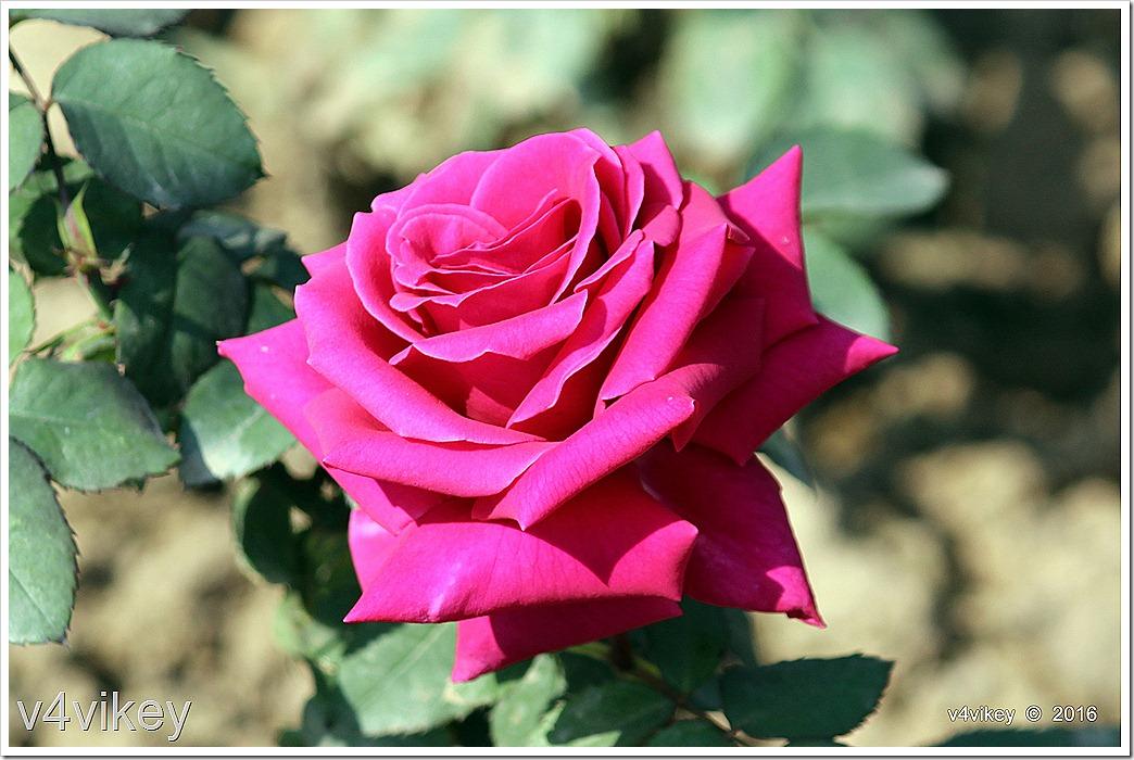 Magenta Roses