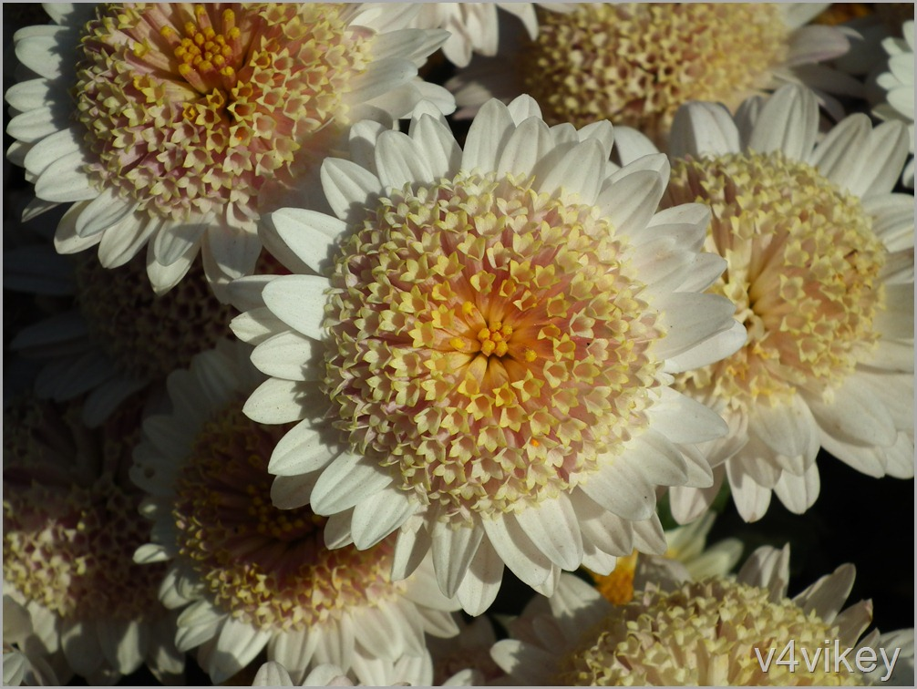 Peach Anemone Chrysanthemum Flower