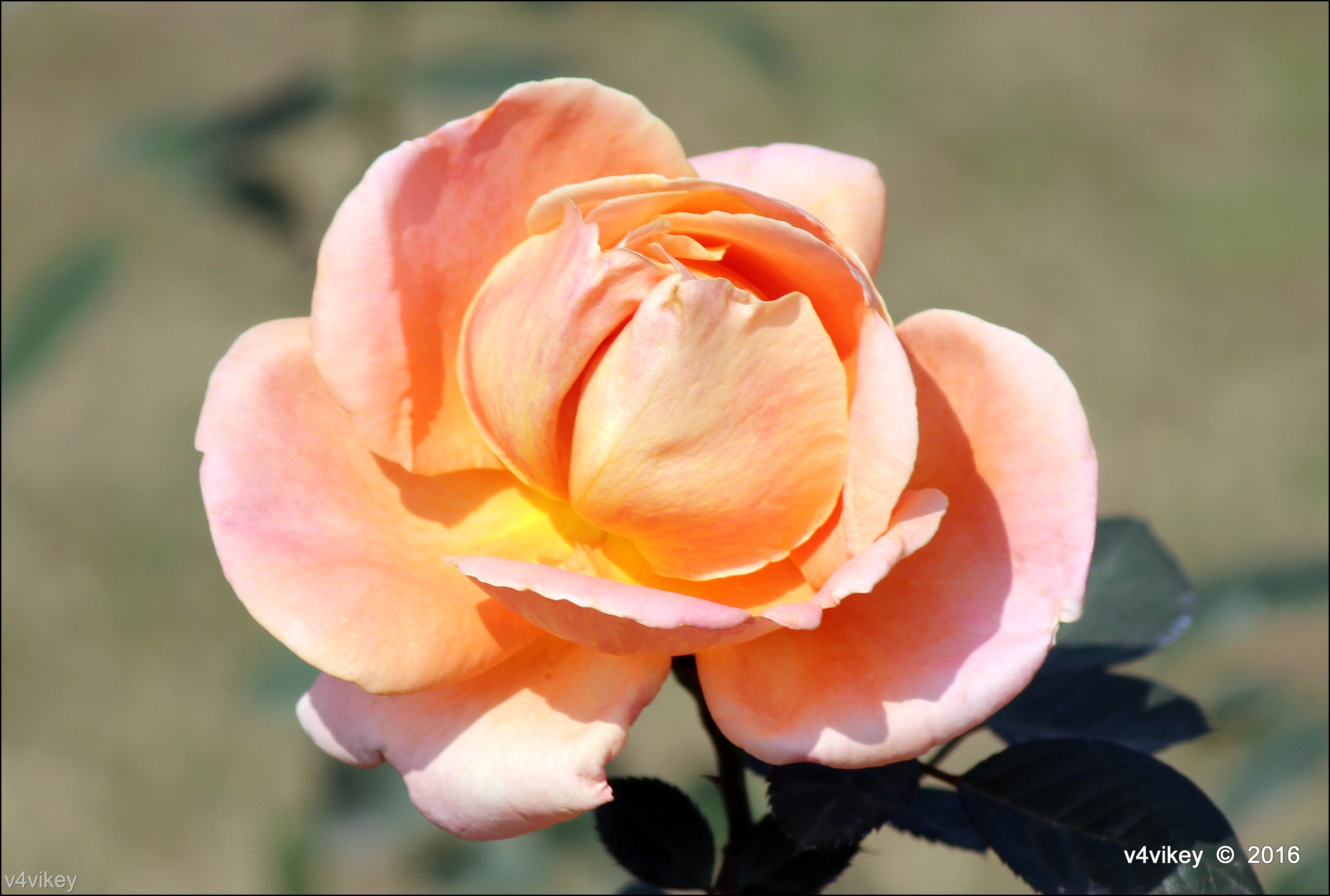 peach rose flower