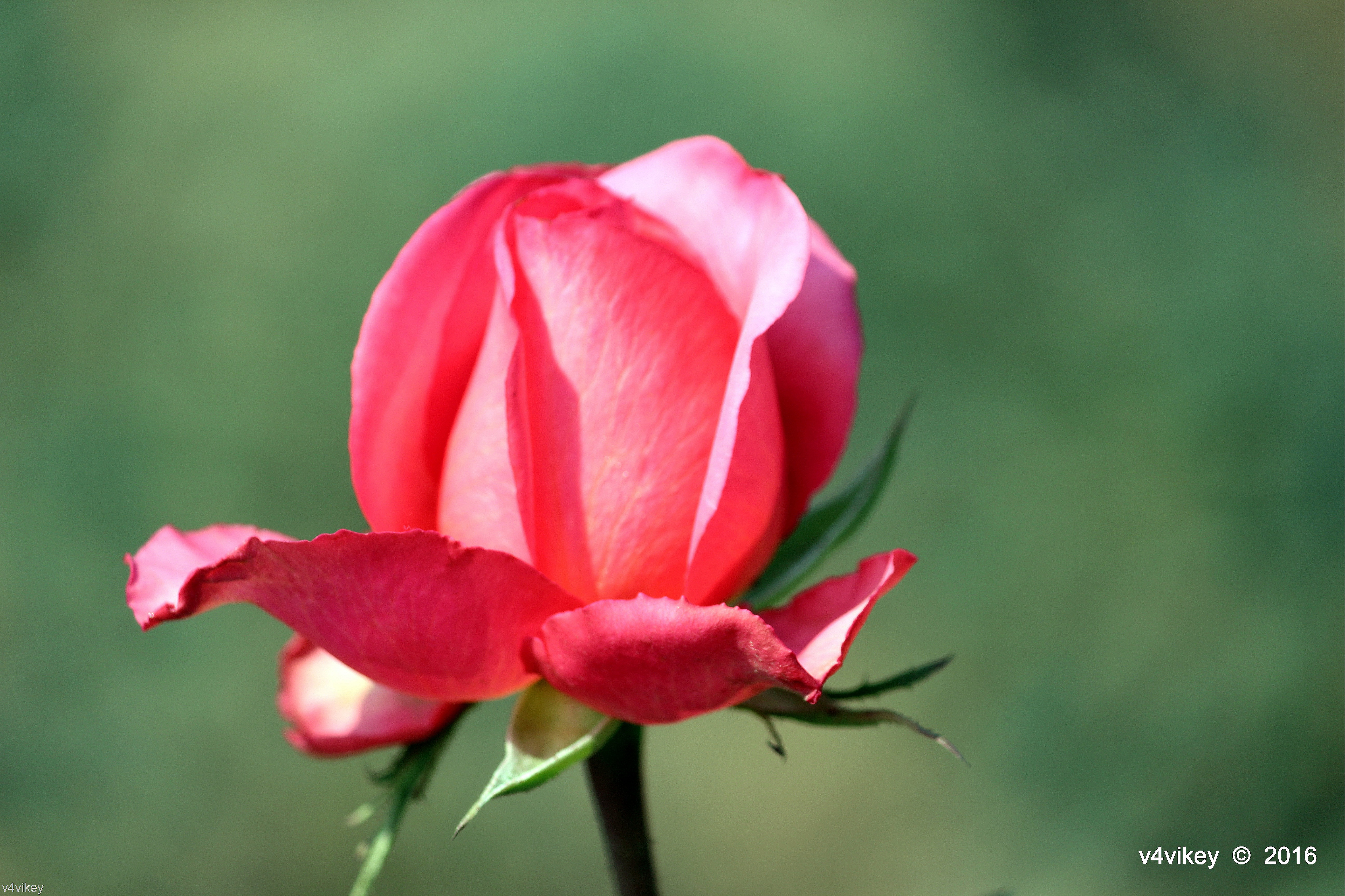 Photo Collection Pink Rose Bud Wallpaper