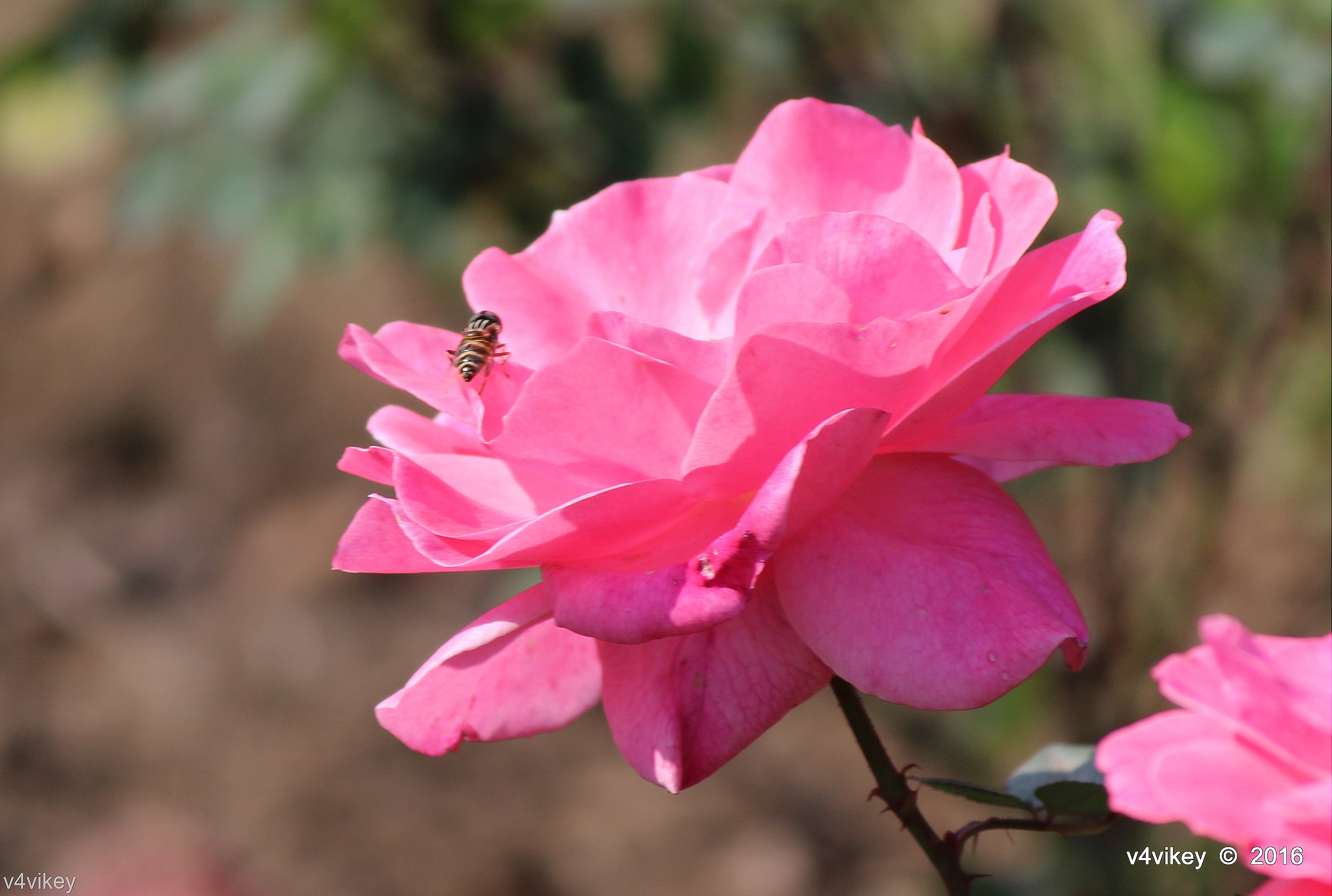 Types Of Rose Flower By Color Pink Rose Wallpaper Tadka