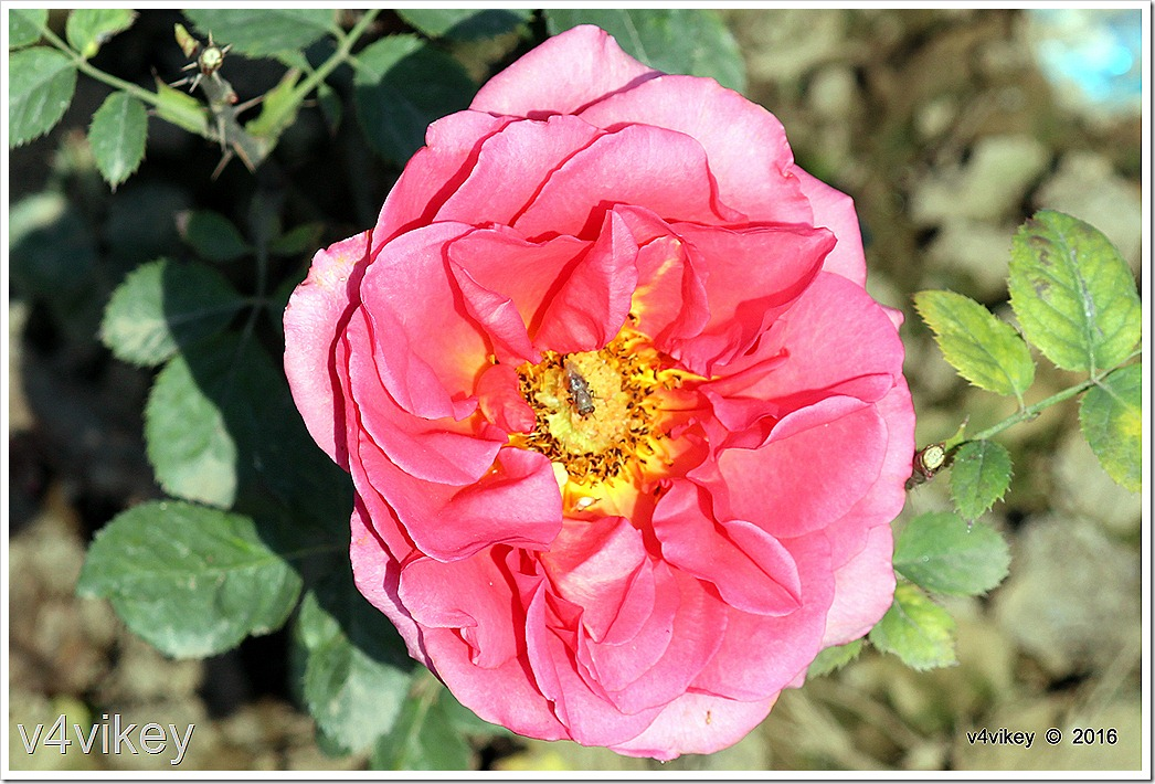 Pink Color Roses Image