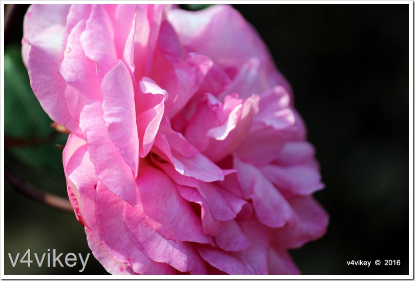 Pink Color Roses Picture