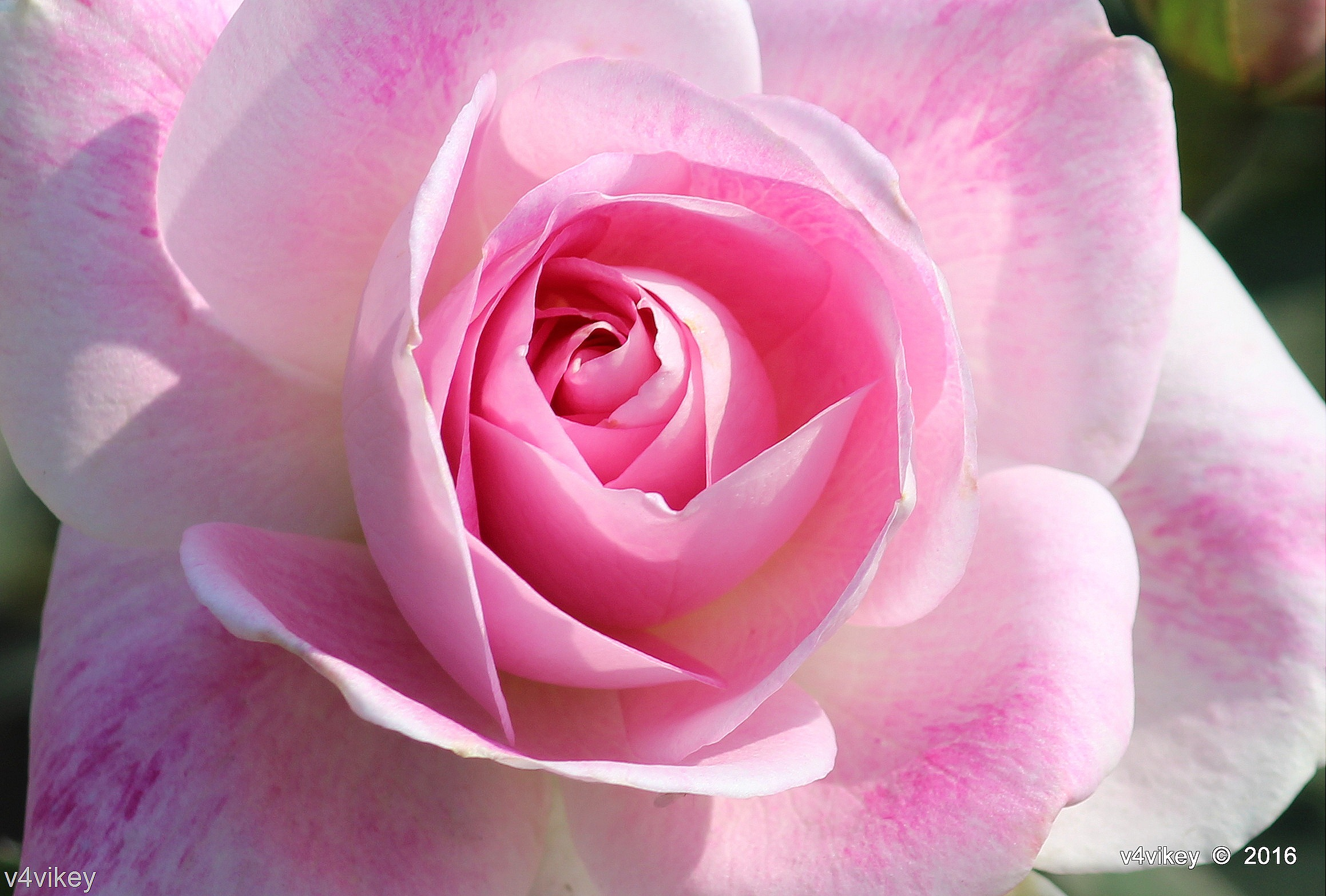 Types Of Rose Flower By Color Purple Shaded Pink Rose Wallpaper