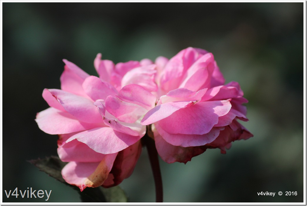 Pink Rose Flower image