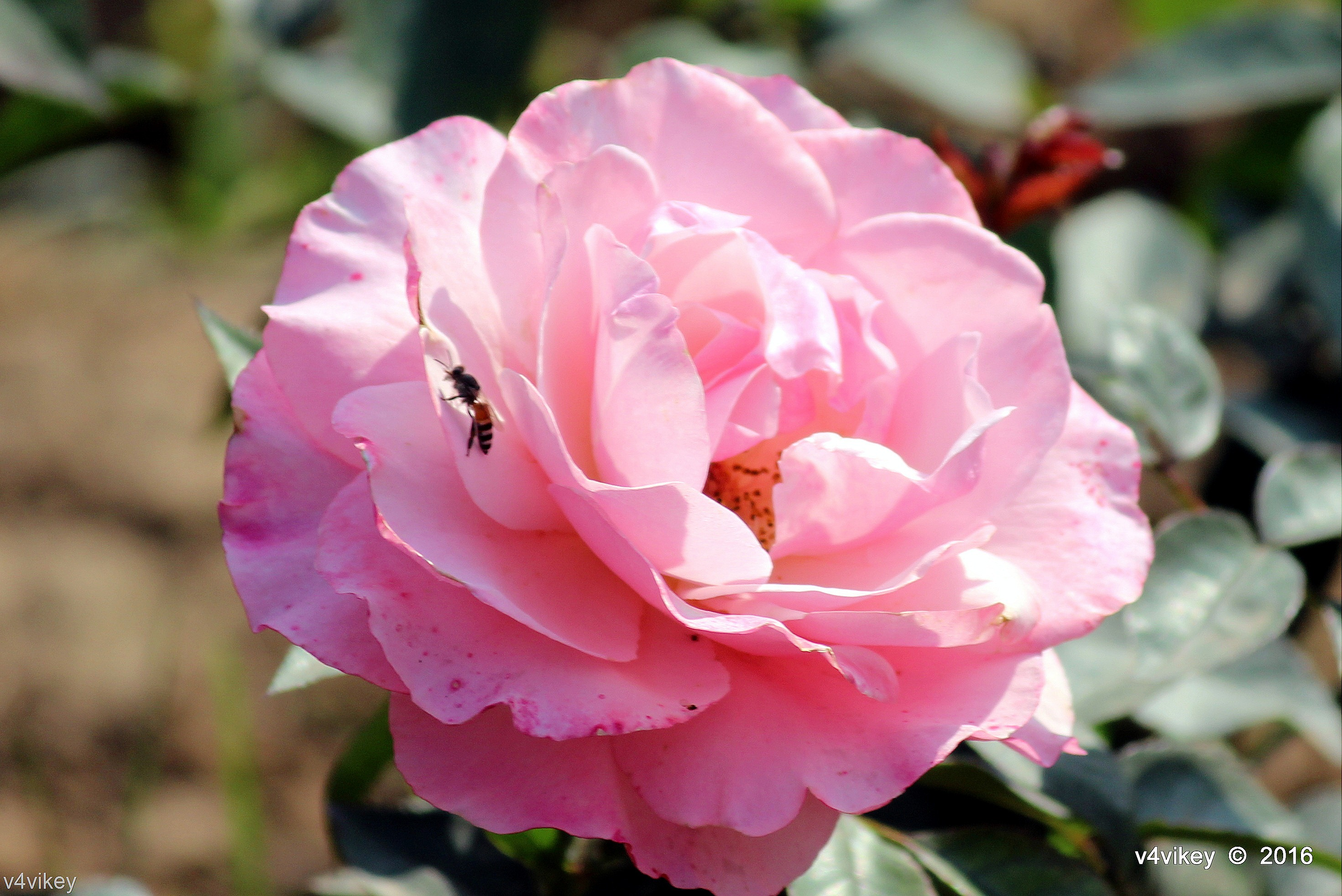 Roses Wallpaper And Quote Lovely Pink Rose Flower Wallpaper Tadka