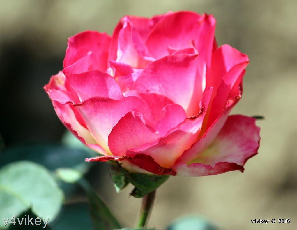 Types Of Rose Flower By Color Pink Lime
