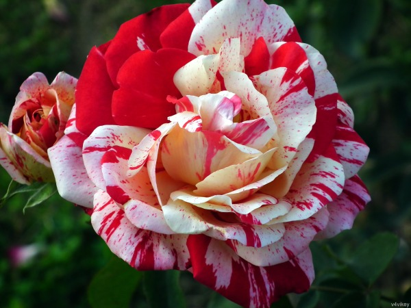 Red and White Scentimental Rose