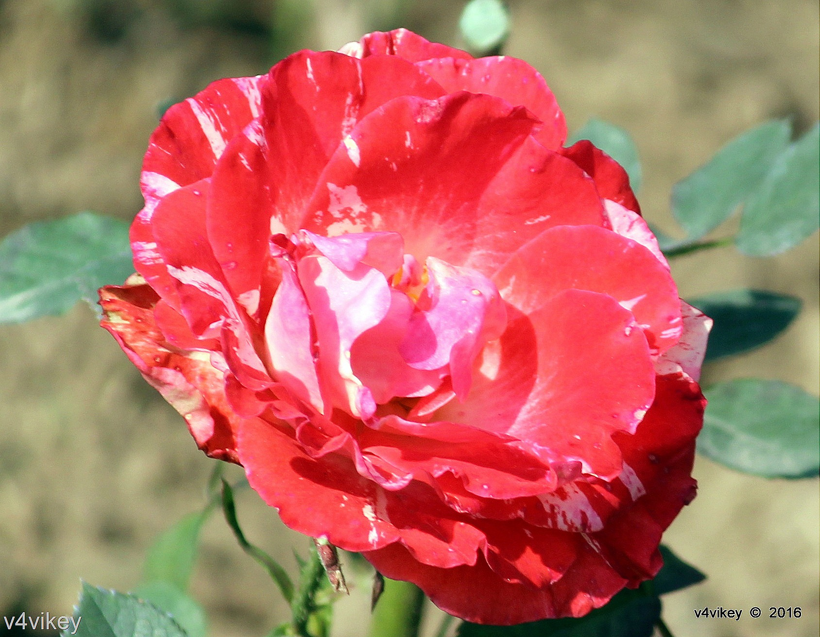 Red And White Color Rose Flower Wallpaper Wallpaper Tadka