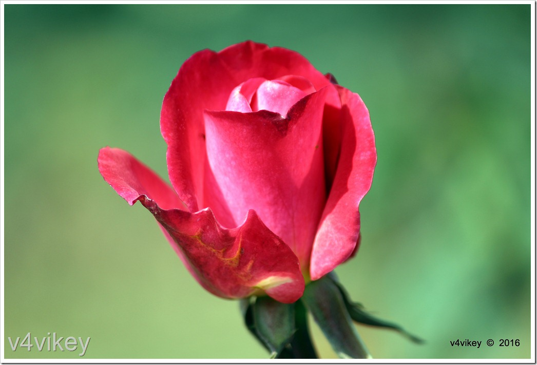Red Beauty rose