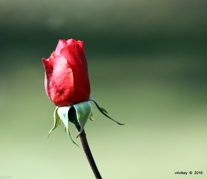 RED COLOR ROSE FLOWER BUD WALLPAPER