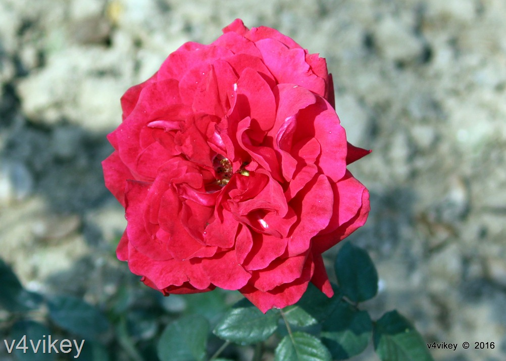 Red color rose flower