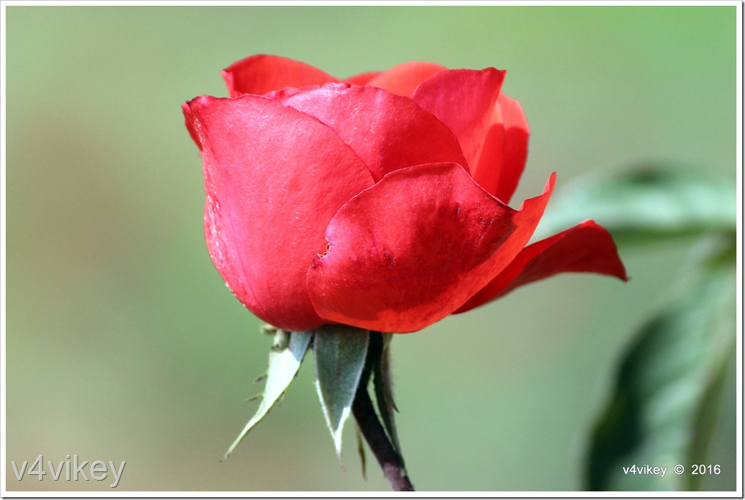 Red Rose Bud flower