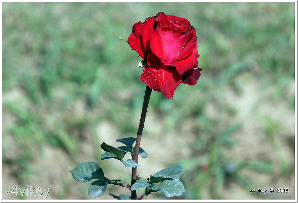 Red Rose Flower Stick