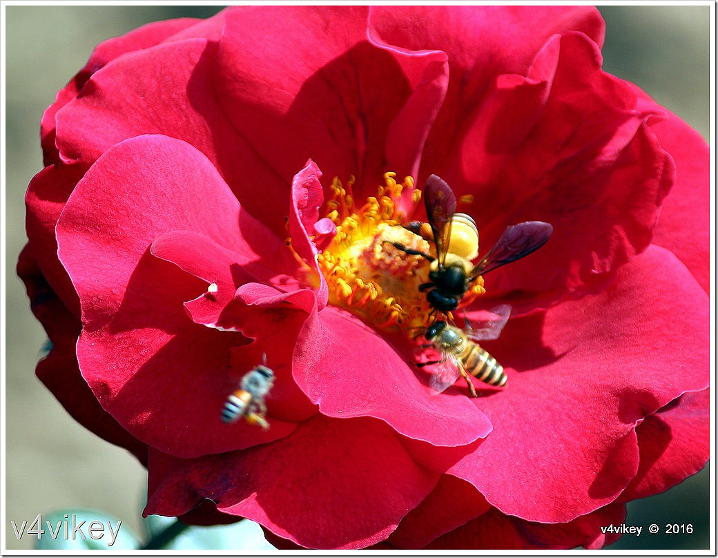 Red roses and honey bee