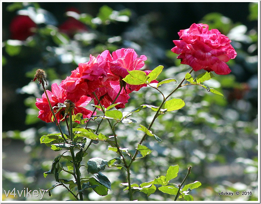 Rose Flowers in Garden