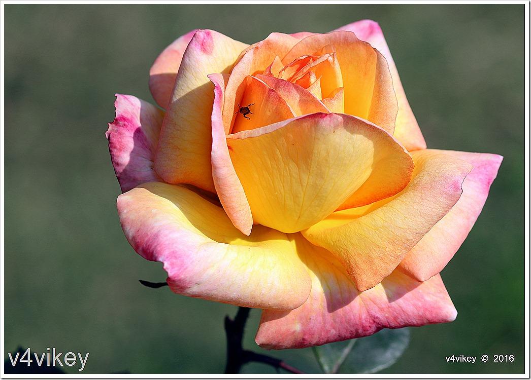 Rose Wallpaper Dual Shaded