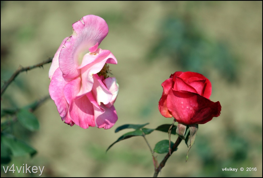 two different color rose