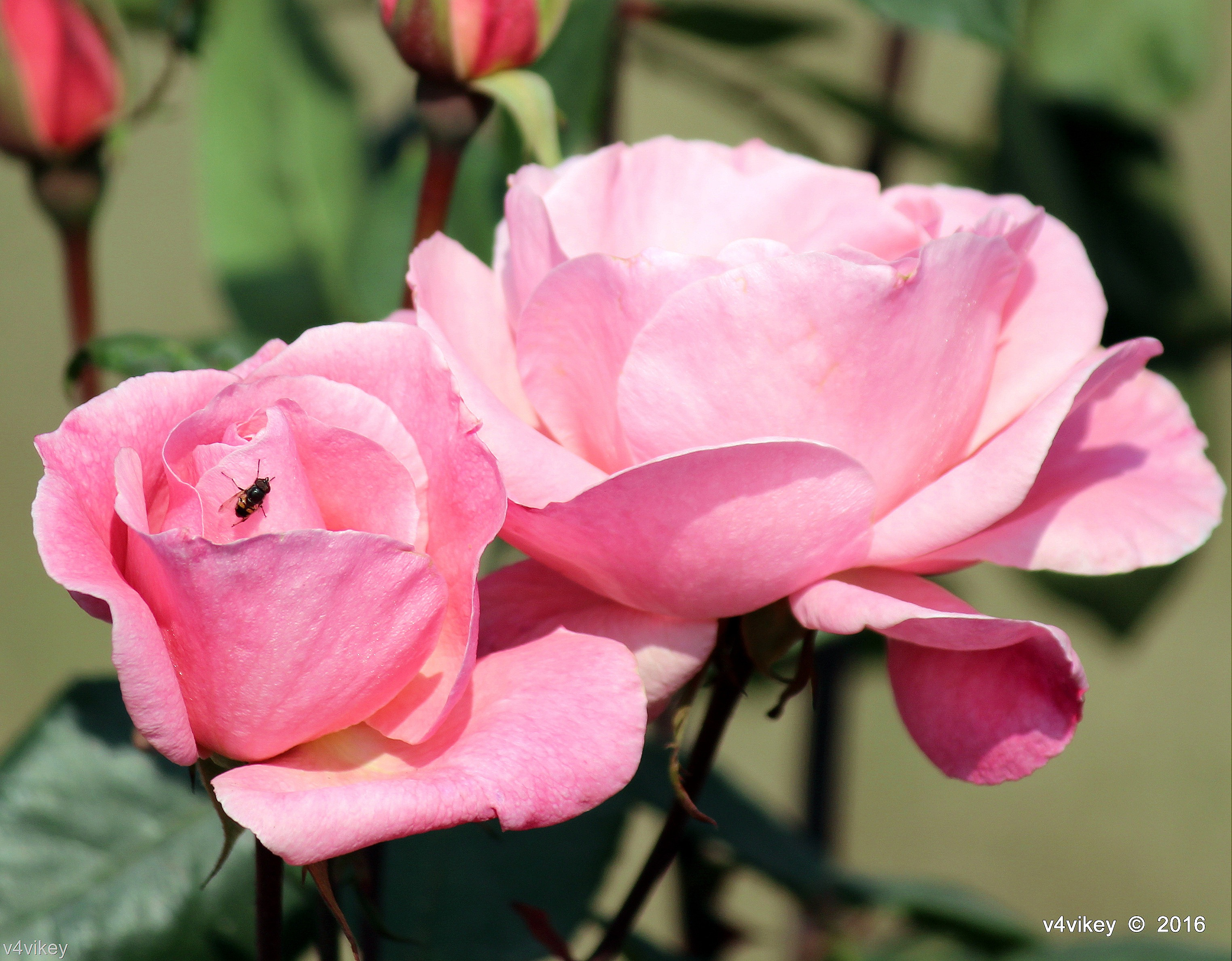 Wallpaper Of Two Pink Color Rose Flowers Wallpaper Tadka