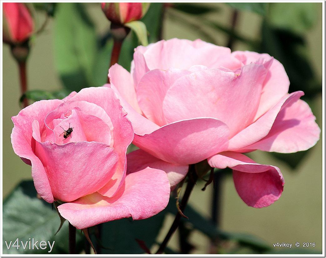 Two Roses Flower