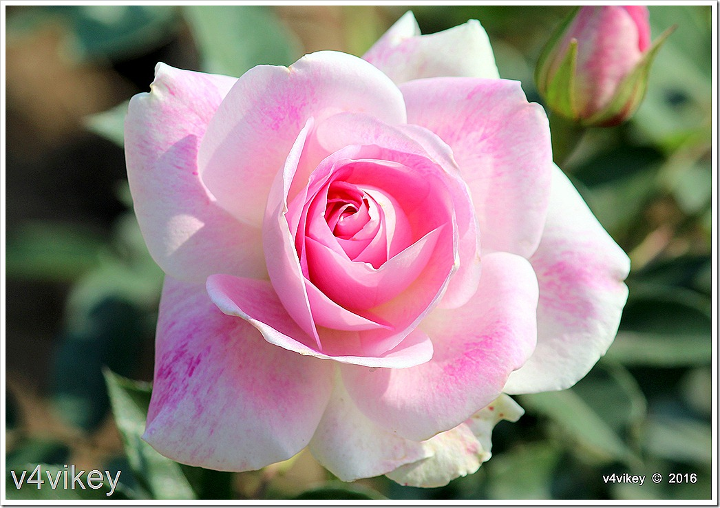 Wallpaper Pink Rose