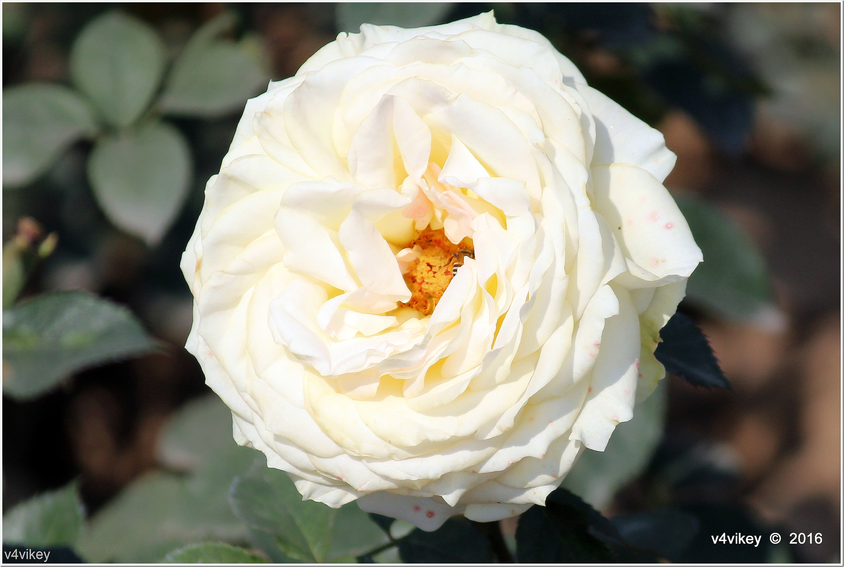White Color Big Roses