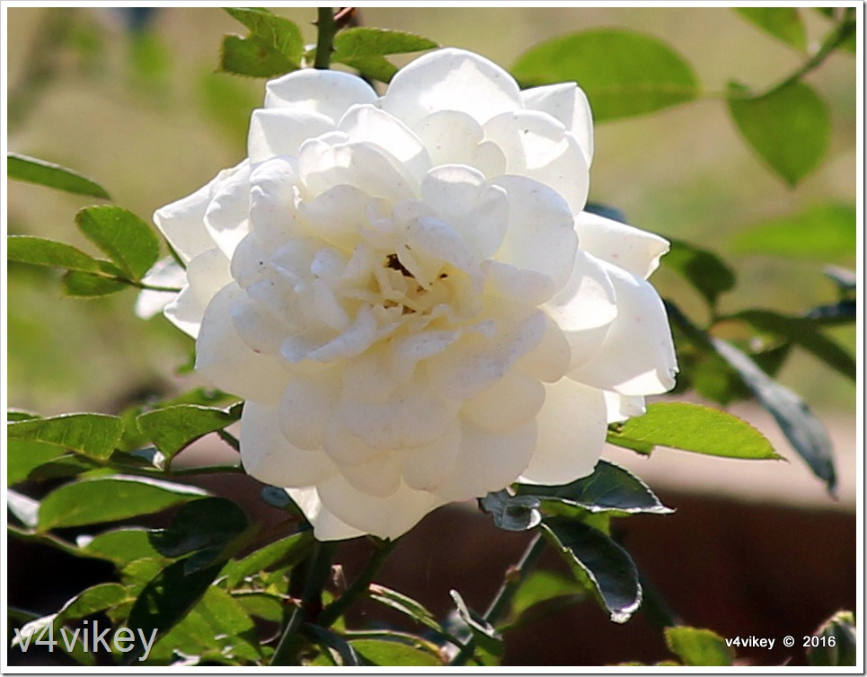 Types of rose flowers by colors white rose wallpaper tadka mightylinksfo