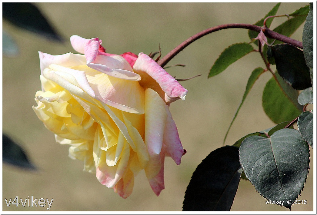 Yellow Pink Dual color Rose