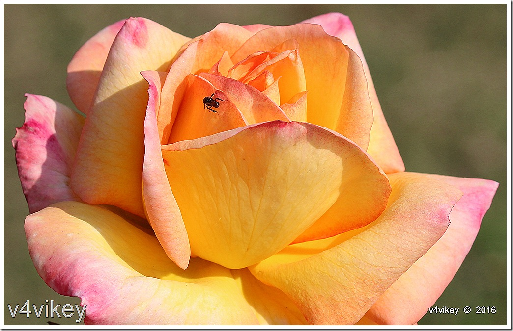 Yellow Rose Pink Shaded