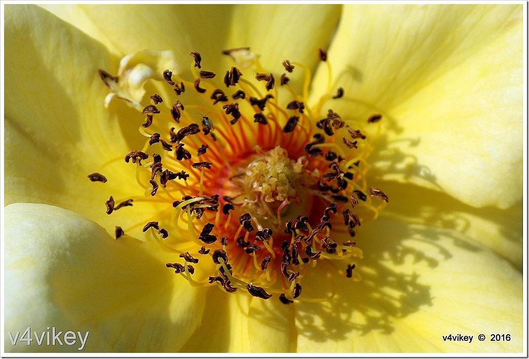 Yellow Roses Macro