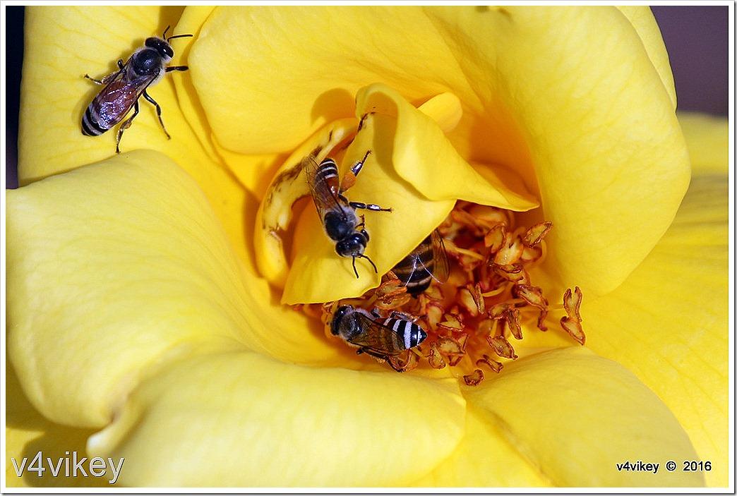 Yellow Roses Macro Photo