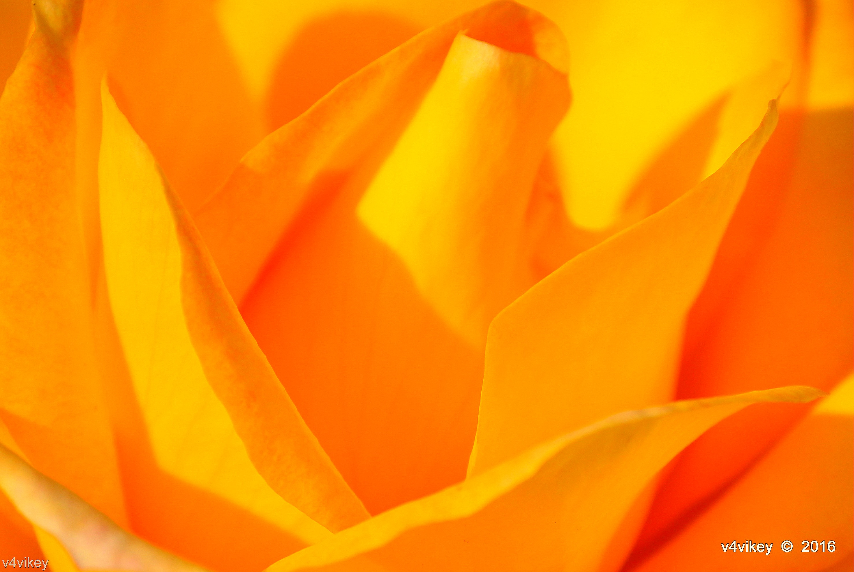 yellow color rose flower wallpaper « wallpaper tadka