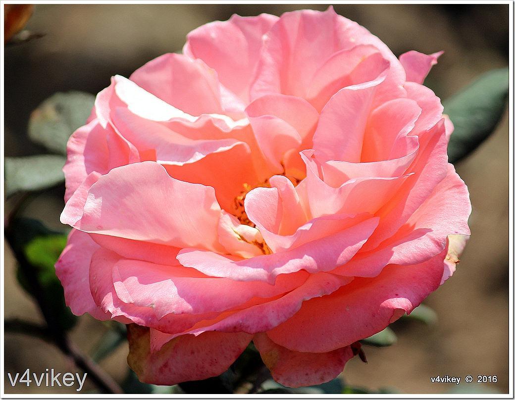 Abraham Darby Pink Rose Flower