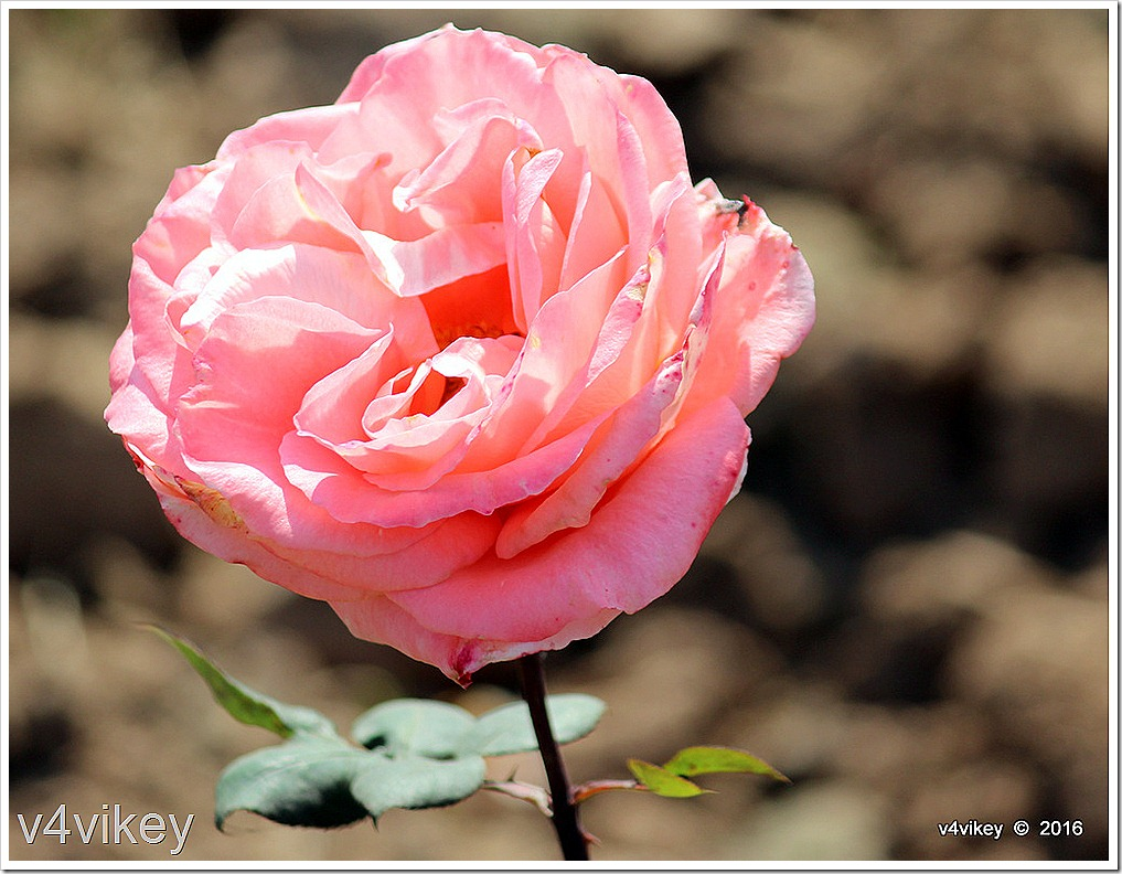 Abraham Darby Rose Flower Image