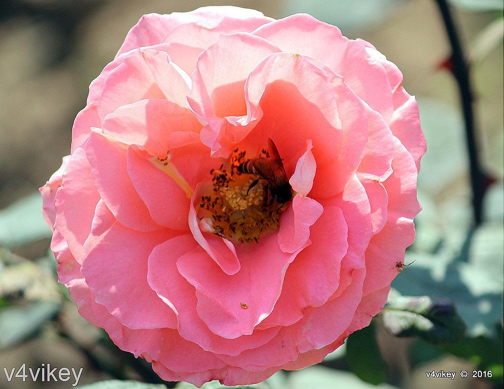 abraham darby rose flower photo wallpaper tadka. Black Bedroom Furniture Sets. Home Design Ideas