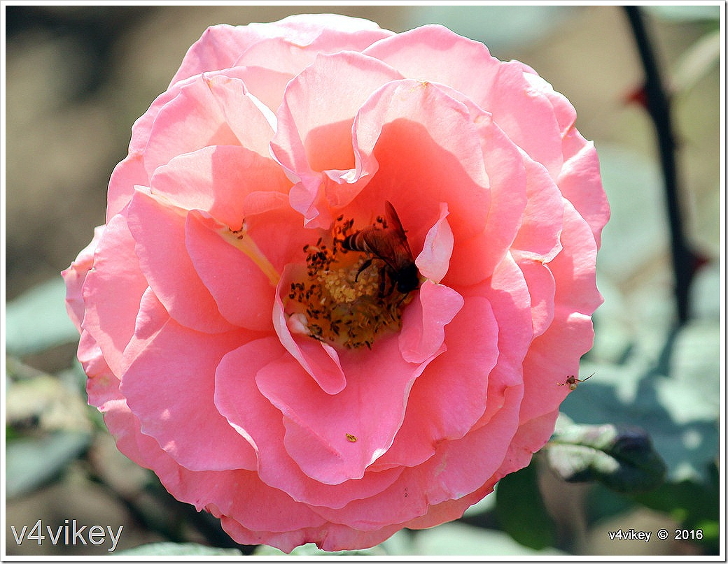 Abraham Darby Rose Flower Photo